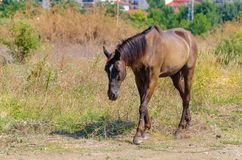 Brown horse goes in the field at summer day. Equine graze beside the road and field. Sad nag stands on the roadside.  stock images
