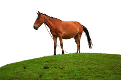 Brown horse on the grass field Stock Photos