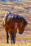 The brown horse is grazed Royalty Free Stock Images