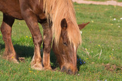 Brown horse grazed. Close up Royalty Free Stock Image