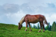 The brown horse is grazed on a meadow in the spring royalty free stock image