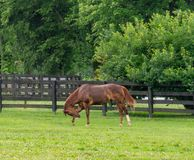 A brown horse grazes in a field. stock photography