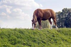 Brown horse grazes on green glade stock photos