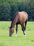 Brown horse grazes on green meadow Stock Photo