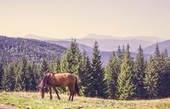 Brown horse grazes on a green meadow in coniferous Carpathian mountains. Brown horse grazes on a green meadow in beautiful coniferous Carpathian mountains Royalty Free Stock Photo