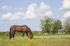 Brown horse grazes in meadow full of yellow flowers Stock Images