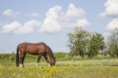 Brown horse grazes in meadow full of yellow flowers