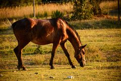 Brown horse in grazing Royalty Free Stock Photography