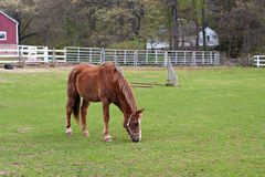 Brown Horse Grazing Royalty Free Stock Images
