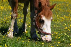 Brown horse grazing Royalty Free Stock Image