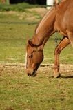 Brown Horse Grazing. On farmland Royalty Free Stock Photography