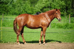 Brown horse grazing Stock Image