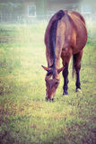 Brown horse grazing on autumn pasture. Royalty Free Stock Photos