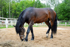 Brown horse grazing. Royalty Free Stock Photo