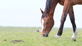 Brown horse grazing close-up stock video footage