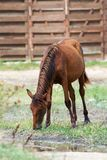 Brown horse grazing at farm Royalty Free Stock Photos