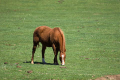 Brown horse grazing in field Royalty Free Stock Image