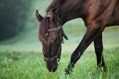 Brown horse grazing in a field. Stock Photos
