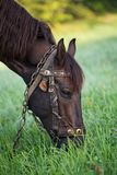 Brown horse grazing in a field. Royalty Free Stock Photos