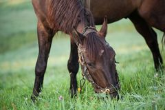 Brown horse grazing in a field. Stock Photography
