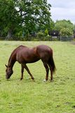 Brown horse grazing in field Royalty Free Stock Photo