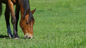 Brown horse grazing in green field background. Brown horse grazing in green field with yellow dandelion flowers, nature background Stock Photos