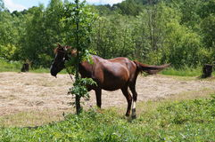 Brown horse grazing on the green grass Royalty Free Stock Image