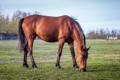 Brown horse grazing green grass on the territory of the racetrac Stock Photography