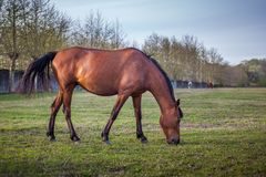 Brown horse grazing green grass on the territory of the racetrac Stock Photo