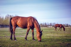 Brown horse grazing green grass on the territory of the racetrac Royalty Free Stock Photography