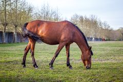 Brown horse grazing green grass on the territory of the racetrac Stock Images