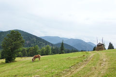 Brown horse grazing on a green meadow. Royalty Free Stock Photos