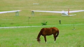 Brown Horse Grazing in Green Meadow stock footage