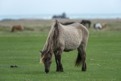 Brown horse grazing in Iceland stock image