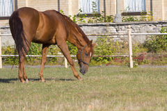 Brown horse grazing illuminated by the sun Stock Photos
