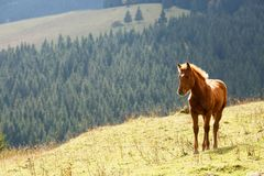 Brown horse grazing on the lawn on a background of mountains. Brown horse grazing on the lawn with background of mountains on summer sunny day Stock Photography