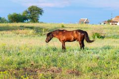 Brown horse grazing on a leash, horse in the field at the eveningBrown horse grazing on a leash, horse in the field at the evening. Brown horse grazing on a Royalty Free Stock Images