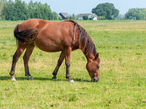 Brown horse grazing lonely Stock Photos