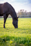 Brown horse grazing in a lush green pasture Stock Image
