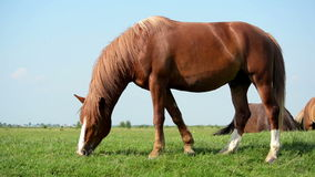 Brown horse Royalty Free Stock Photos