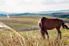 Brown horse grazing in a meadow Royalty Free Stock Image
