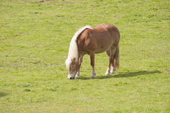 Brown horse grazing in meadow Royalty Free Stock Photo