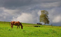 Brown Horse Grazing on Meadow Royalty Free Stock Photography