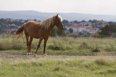 Brown horse grazing in a meadow at summer day. Brown horse grazing in a meadow in sunny summer day Stock Photography