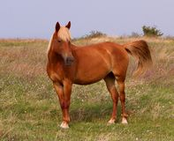 Brown horse grazing in the meadow Stock Image