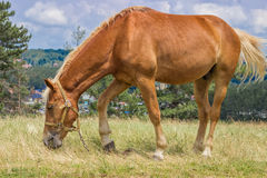 Brown horse grazing in a meadow at sunny day 2 Royalty Free Stock Images