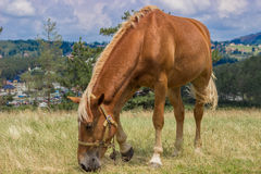Brown horse grazing in a meadow at sunny day Stock Photography