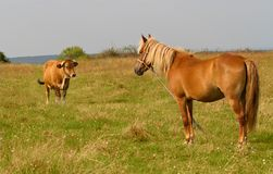Brown horse grazing in the meadow at sunny summer Royalty Free Stock Images