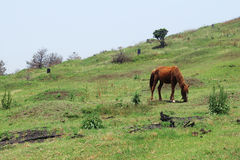 Brown horse grazing in Udo, Jeju, Korea. Brown horse grazing in Udo, Jeju island, Korea Stock Image
