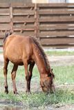 Brown horse grazing near farm Royalty Free Stock Photography